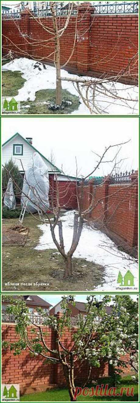 Обрезка яблонь весной | Дачная жизнь - сад, огород, дача. Омолаживающая обрезка плодовых деревьев.