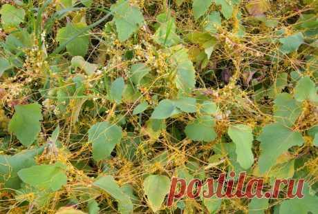 Как избавиться от опасного сорняка - повилики