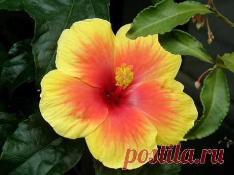 Китайская роза: уход в домашних условиях, фото, размножение, обрезка, выращивание из семян