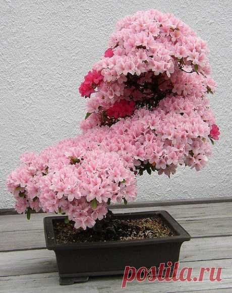 Бонсай — искусство выращивания точной копии настоящего дерева в миниатюре. Цветущая вишня
