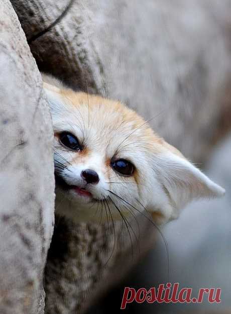 Fennec fox   Flickr - Photo Sharing!