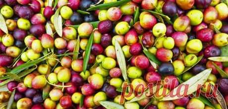 3 рецепта для красоты волос с оливковым маслом | Natural-cosmetology.ru | Яндекс Дзен