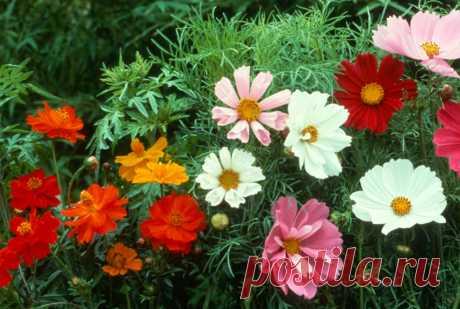 Яркие цветы, посеянные в июне, будут радовать красотой до холодов