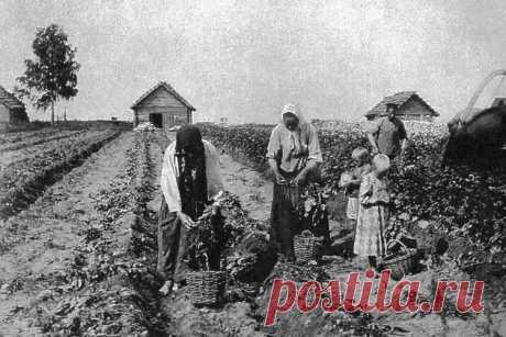 Что русские выращивали в огороде до появления картошки   Кириллица   Яндекс Дзен
