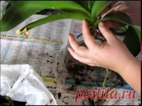 ''Омолаживание'' орхидеи делением куста