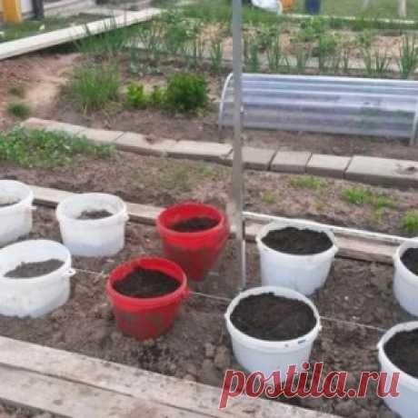 О выращивании помидоров в ведрах без дна в теплицах и открытом грунте - МирТесен