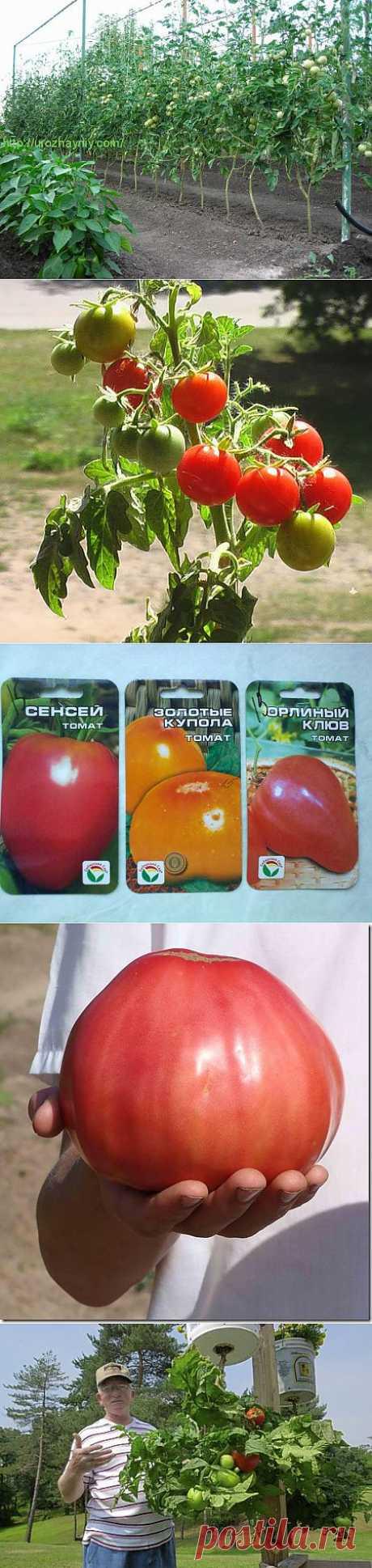 томаты помидоры из помидор | Записи с меткой томаты помидоры из помидор | Дача, сад и огород круглый год!
