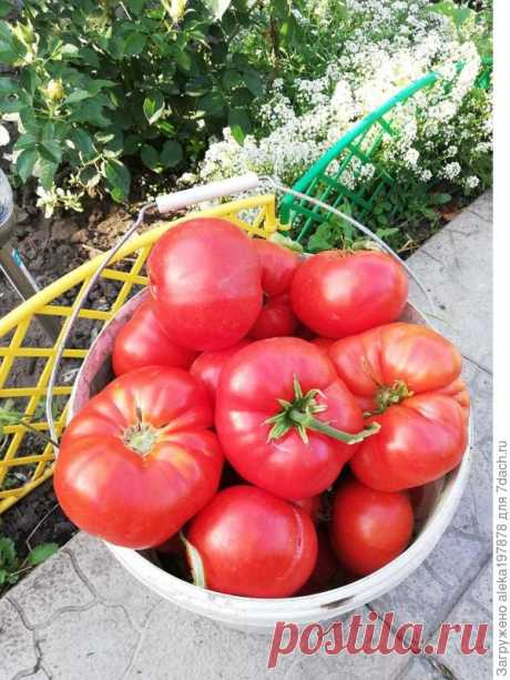 Секретик помидорный, или Как вырастить крупные томаты