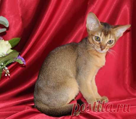El gatito abisinio, 3 meses