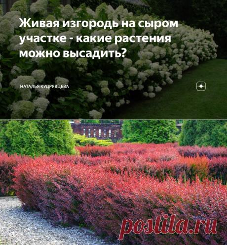 Живая изгородь на сыром участке - какие растения можно высадить? | Наталья Кудрявцева | Яндекс Дзен