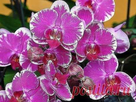 TODO QUE ES NECESARIO SABER EL FLORECIMIENTO DE LAS ORQUÍDEAS\u000a¡Conserven para no perder!\u000aQue la orquídea florezca …\u000aLa frecuencia del florecimiento de la orquídea depende de la observación de las ciertas reglas de la partida. Que la planta florezca, debe recordar las 9 condiciones importantes que contribuyen a esto.\u000a1. Conozcan la edad de la orquídea\u000aSi habéis comprado la planta que no florece, y no tiene prisa alegrar la aguja de flores, puede ser, ello todavía demasiado joven. Los tipos diferentes de las orquídeas florecen de edad de 1,5 a 3 años. Para determinar que orhide...