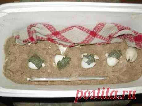 Размножение красноухих черепах в домашних условиях