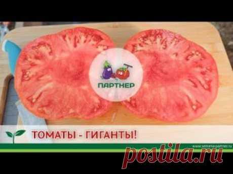 Купить семена Партнер Томат БАБУШКИНО ^(0,1г) почтой по цене официального магазина, Партнер Томат БАБУШКИНО ^(0,1г) фото, описание, отзывы