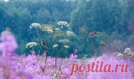 Встреча с мухоловкой под дождем. Автор снимка – Татьяна Ярмолюк: nat-geo.ru/community/user/221653/