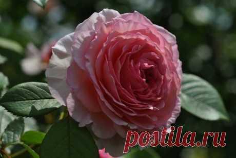Человек с золотой флейтой и его роза | О розе