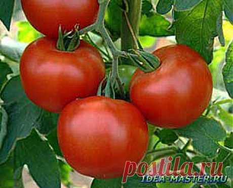 Технология выращивания томатов (помидоров) в мешках