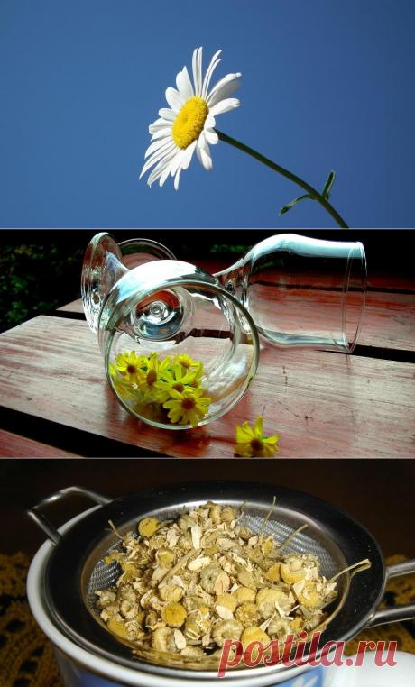 Ромашковый чай и долголетие - Образованная Сова