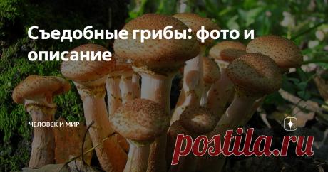 Съедобные грибы: фото и описание Для начинающих грибников