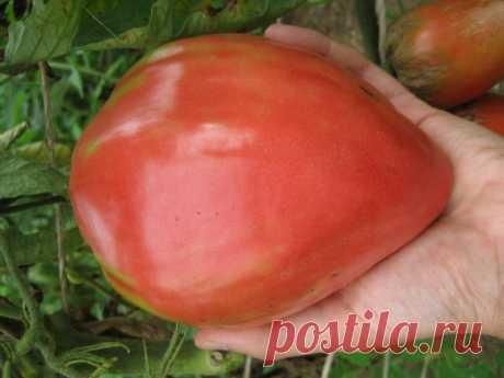 Ako hoćete bogat i sočan plod paradajza ove godine uradite ovo obavezno – Izaberi Zdravo