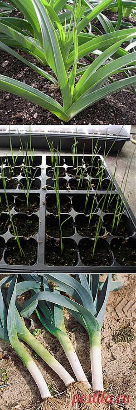 (+1) комм - Как вырастить хороший урожай лука- порея | 6 соток