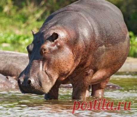 Как выглядит, где обитает и чем питается гиппопотам? Опасно ли животное для человека? До каких максимальных размеров могут вырастать животные?