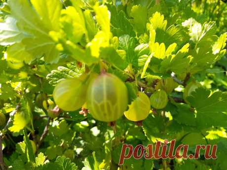 Чтобы крыжовник и смородину не пришлось спасать летом от мучнистой росы, нужно обработать кусты весной.   Дача ягодки цветочки   Яндекс Дзен