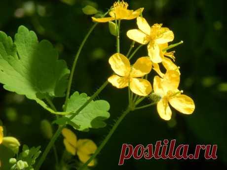 Полезные свойства чистотела: использование в саду и огороде от вредителей
