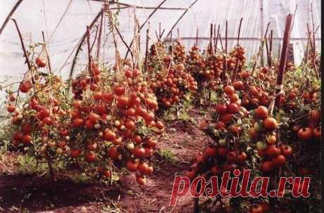 60 томатов с одного куста?! Это реально!