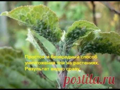 Простой и безвредный способ уничтожения тли на растениях. Результат видно сразу.