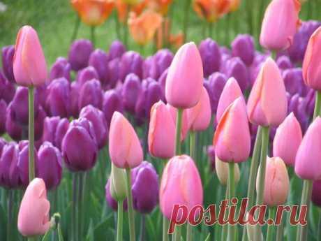Готовим тюльпаны к осенней посадке