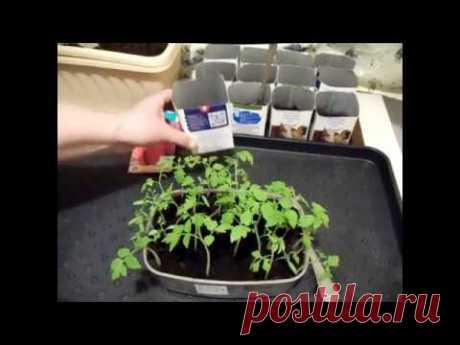 Пикировка рассады томатов. Как правильно? По 2 или по 1?