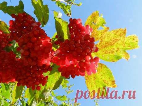 Русская калина: выращивание и уход