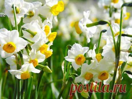 Нарцисы - вечные символы весны, солнечных дней, радости и любви.