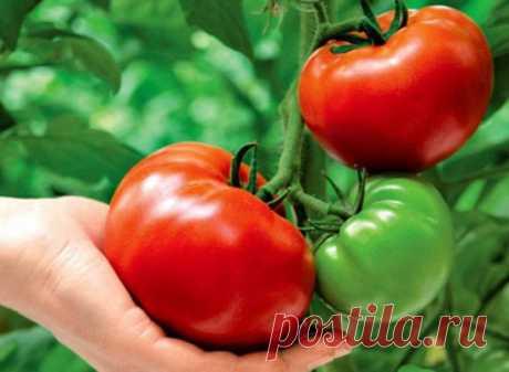 ВЫРАЩИВАНИЕ ПОМИДОР ПО МАСЛОВУ.  УВЕЛИЧЕНИЕ УРОЖАЯ В 8 РАЗ!  Наблюдая в течение многих лет за развитием томатных растений, я пришел к выводу, что для того, чтобы обеспечить налив большого количества плодов, нужна мощная корневая система.  Увеличить ее я пробовал двумя способами.  Первый — посадка рассады не вертикально, как это обычно принято, а лежа. В заранее подготовленную борозду укладываю не только корень, но 2/3 стебля, предварительно удалив с этой части листья. Засыпаю слоем почвы в