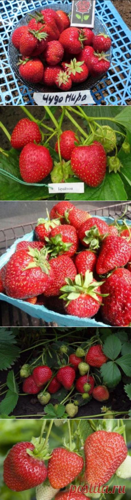 Клубника на всё лето: сорта, плодоносящие в течение лета и осени