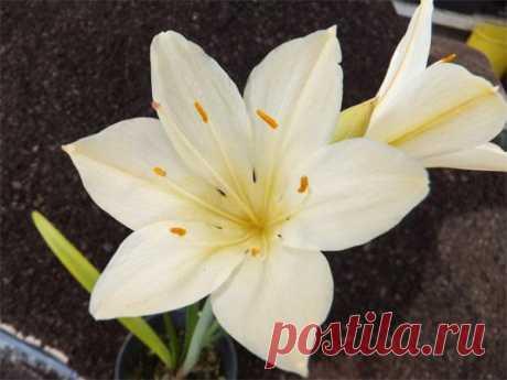Валлота, особенности ухода в домашних условиях Валлота, цветок принадлежащий к семейству амариллисовых, и как повелось среди представителей этого семейства, начинающие цветоводы, не вдаваясь в тонкости и нюансы ботанической классификации, именуют ...