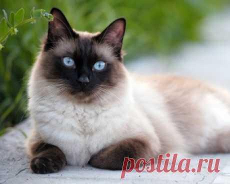 Сиамская кошка: описание, характер породы, цена котят, фото, отзывы и болезни породы.