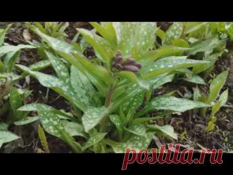 С цветами по жизни!: Посадите медуницу в саду