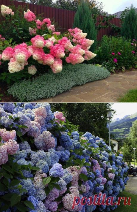 «Цветок — фиолетовое солнце» покорил мое сердце… теперь весь сад в них! — Мир Растений