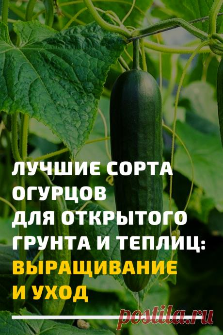 Можно подобрать семена сортов с уникальными свойствами. Но следует учитывать, что заявленная высокая урожайность огурцов напрямую зависит от ухода.