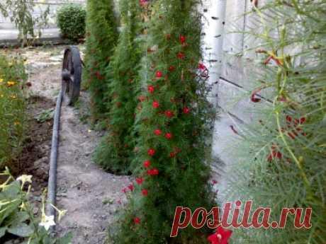 Ипомея квамоклит выращивание и уход в домашних условиях Ипомея квамоклит замечательная декоративная лиана с выращиванием которой не возникнет трудностей, но при этом она очень красиво смотрится как живая изгородь