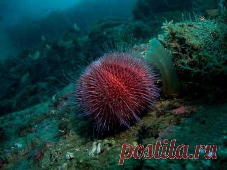 Морской ёж Echinus Esculentus – краснокнижный обитатель Баренцева моря. Териберка, Мурманская область. Фотограф – Егор Никифоров: nat-geo.ru/community/user/35887