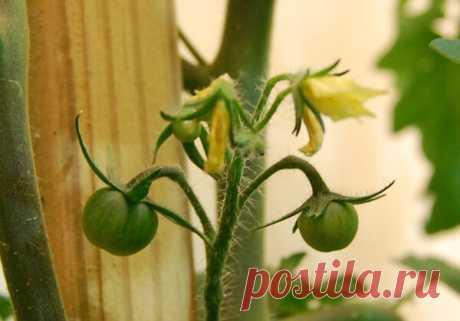 Опадают завязи на томатах, плохо завязываются плоды. Срочно проведите эту подкормку |