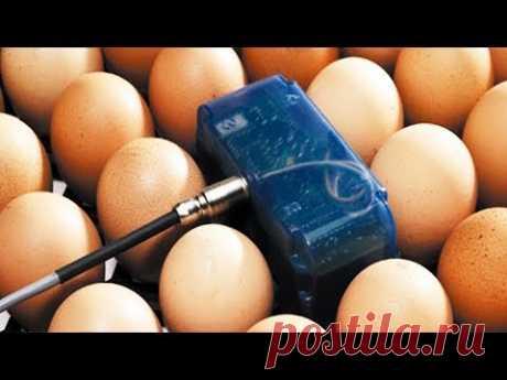 ШКОЛА ИНКУБАТОРОСТРОЕНИЯ №13 Датчик на яйцо в инкубаторе. Когда он нужен и зачем, влияет на вывод!