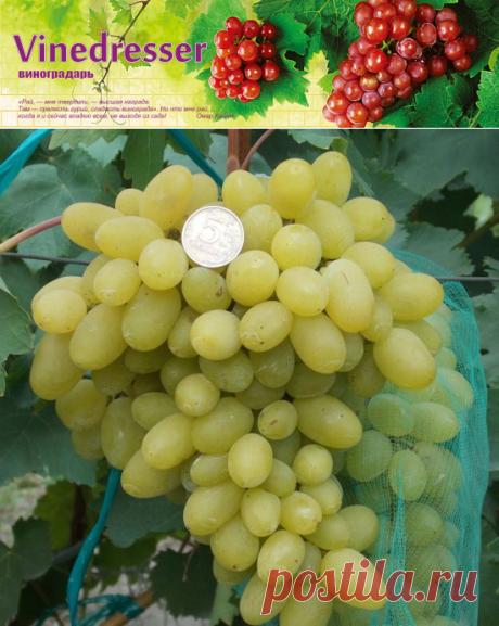 Сорт винограда Самородок описание и фото