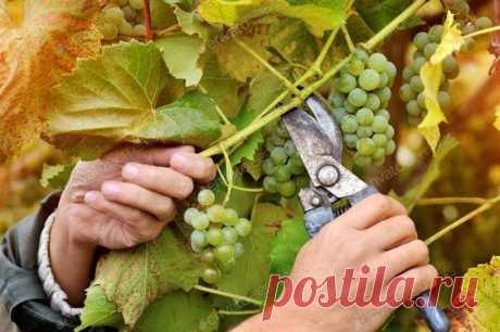 Как же вырастить виноград, который будет давать хороший урожай? Основной секрет – правильная обрезка. Это очень важный агротехнический приём.