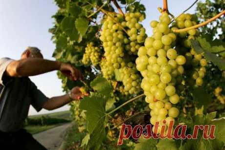 Пять правил выращивания хорошего винограда — Если периодически осматривать виноградную лозу, то многих проблем удастся избежать. Запомните несколько простых правил, соблюдая которые вы получите виноград отличного качества. Правило первое — следи…