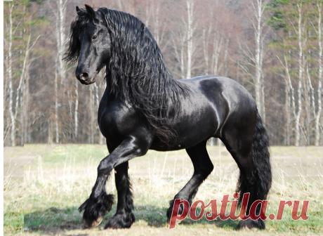 Фридрих Великий конь: фото, внешний вид, история, особенности Этот роскошный конь с черной блестящей шерстью — красавец фотомодель Фридрих Великий.