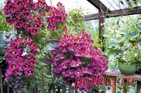 Экзотика в вашем саду  Красавица миниорхидея  Хотим обратить ваше внимание на схизантус, который еще называют маленькой орхидеей. Яркие и необыкновенно привлекательные цветы этого растения вряд ли оставят равнодушным человека, высоко ценящего эстетику на своем участке.  Итак, схизантус принадлежит к семейству Пасленовых и насчитывает 11 видов, которые происходят из Южной Америки и Южной Африки. В наших широтах растение выращивается как однолетник. Семена растения можно вы...