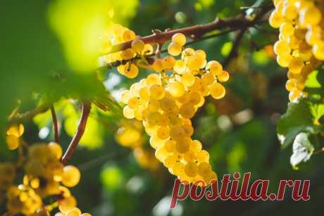 Виноград — секреты здорового урожая — Ботаничка.ru